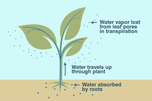 Image: An illustration of the process of transpiration  Credit: NASA JPL/Caltech